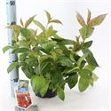 Picture of Weigela florida Wings of Fire