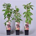 Picture of Actinidia arguta Kens Red (Kiwibes, vrl.)