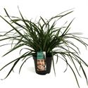 Afbeelding van Carex morrowii Irish Green