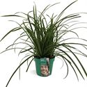 Afbeelding van Carex morrowii Ice Dance in gekleurde pot