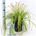 Picture of Carex oshimensis Everillo