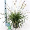 Picture of Carex oshimensis Everlime