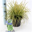 Picture of Carex oshimensis Eversheen