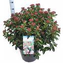 Picture of Viburnum tinus Lisa Rose ®